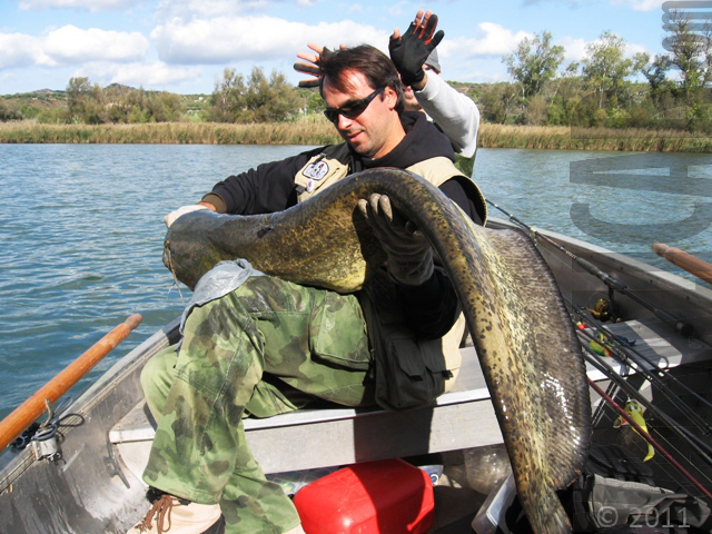 rio ebro spain wels catfish silurus glanis_4