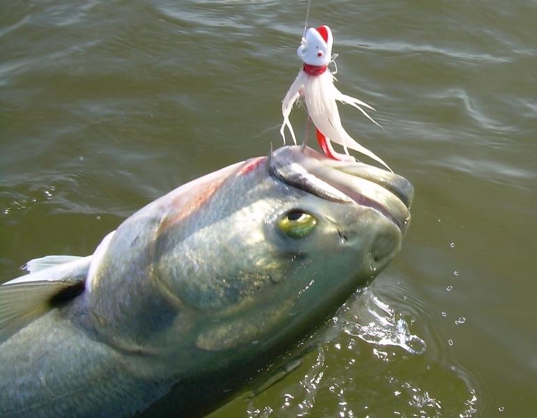 zubatica_bluefish_NY_3