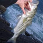 striped bass_1